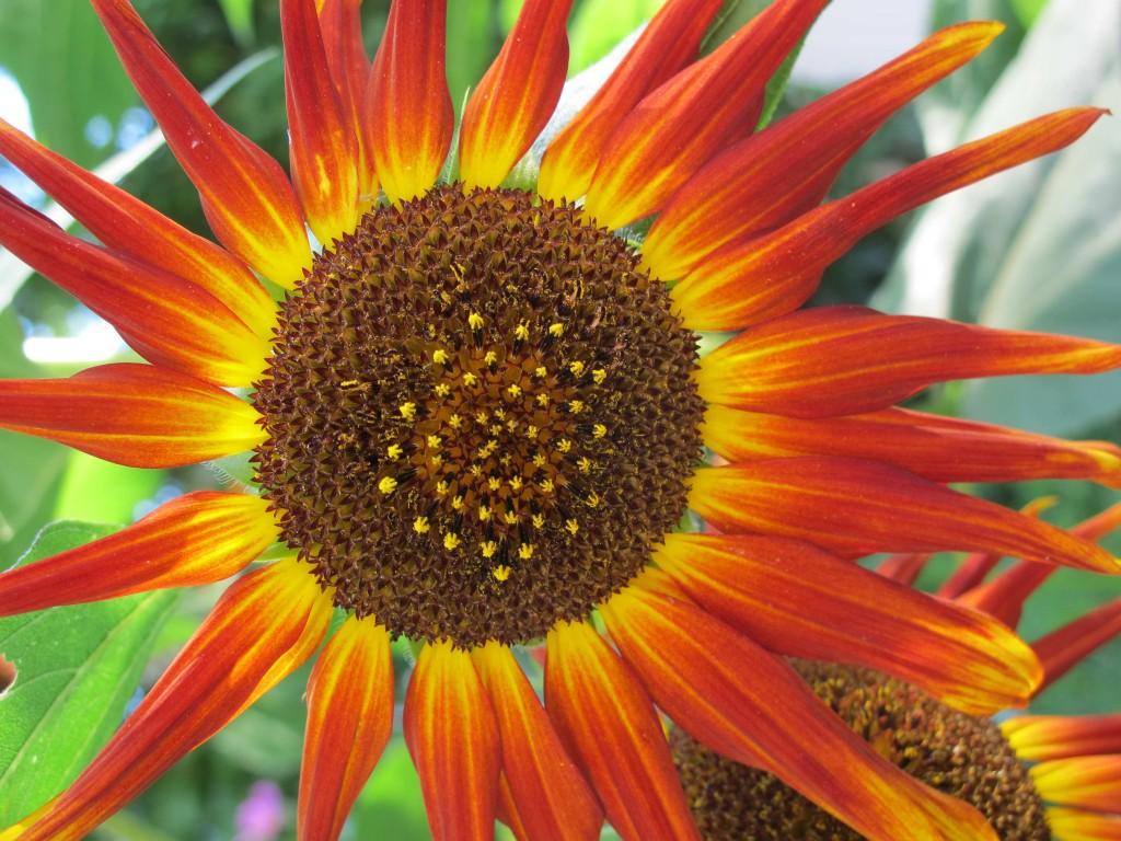 Sonnenblumedunkel