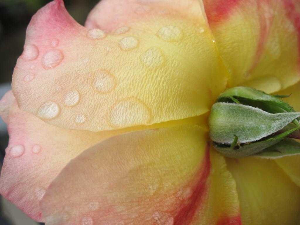 Rosen und Tropfen2