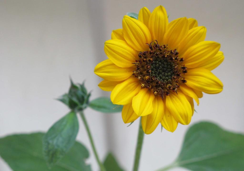 Sonnenblume,klein