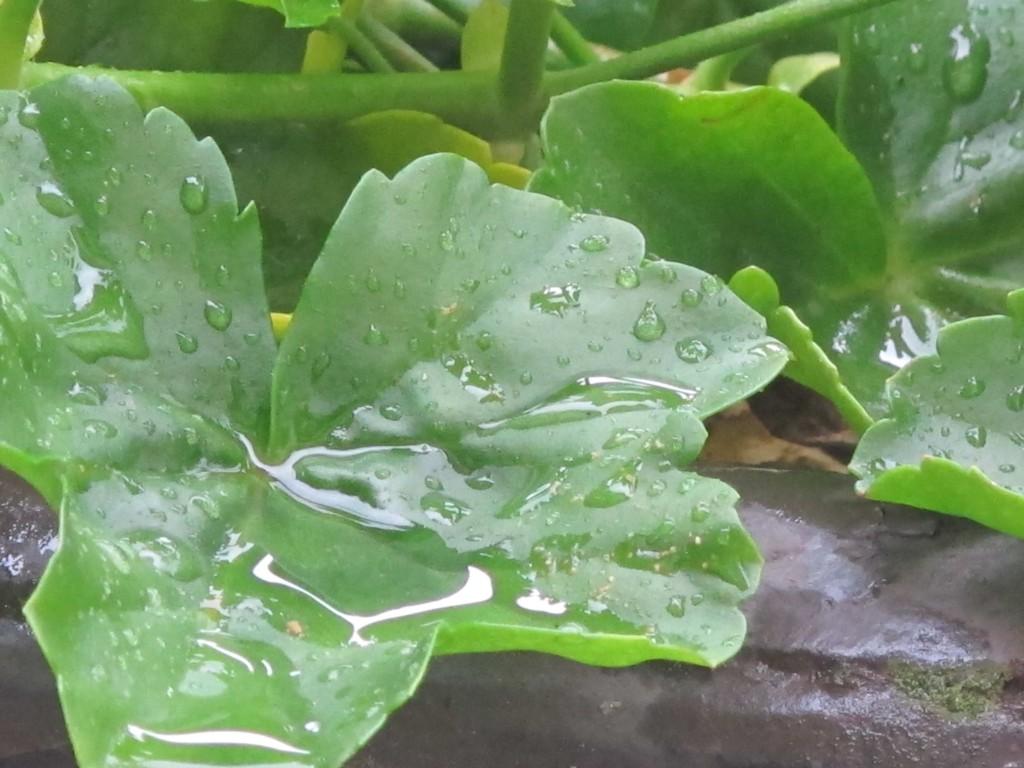 geranienblatt